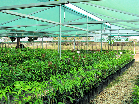 Thousands of mango trees are grafted and waiting to be placed in their orchard