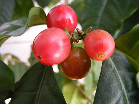 Ripe coffee berries, (photo by Stanislaw Szydlo)