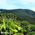 Growing Your Own Coffee