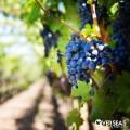 vineyard los arbolitos