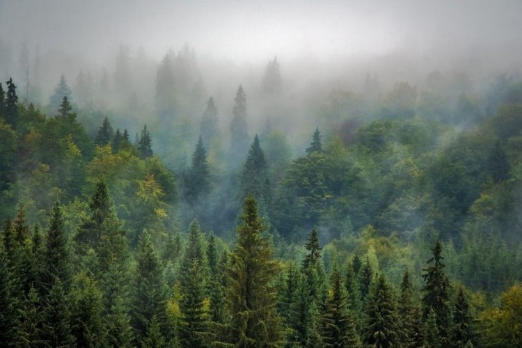 a misty forest of green trees