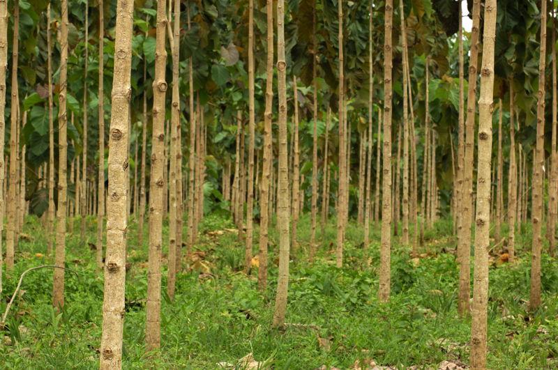 teak tree forest