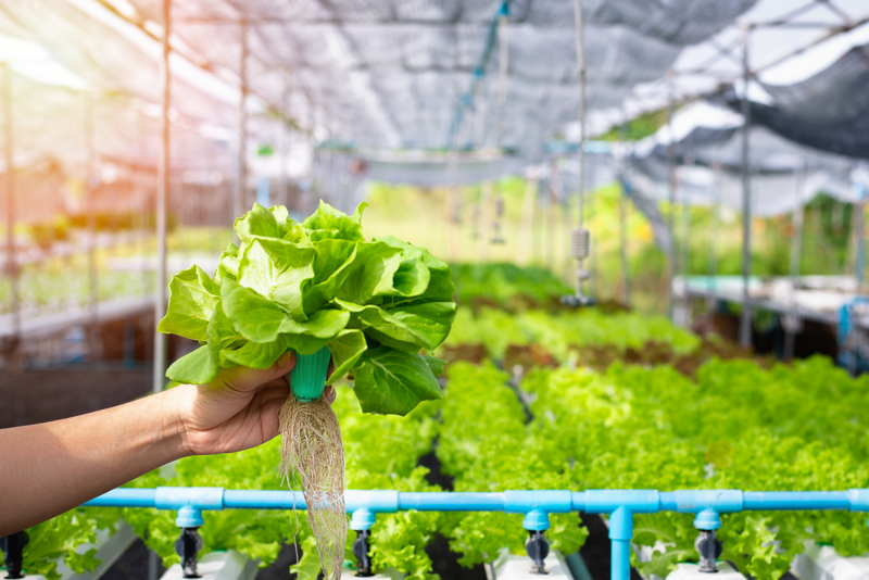 vegetables growin in a greenhouse using hydroponics