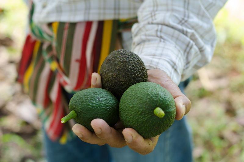 farmer holding fresh avocados