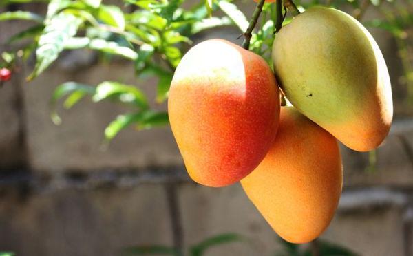 mangos on a tree sunny day