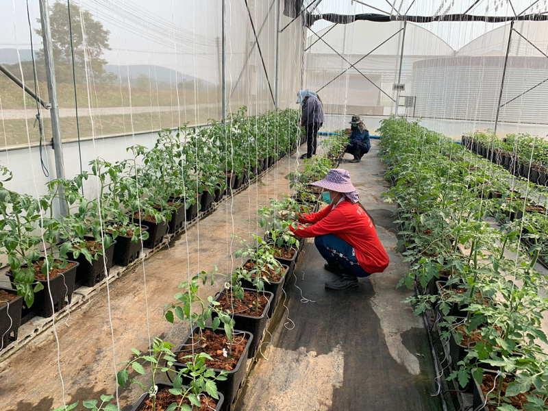 tomato farming organic