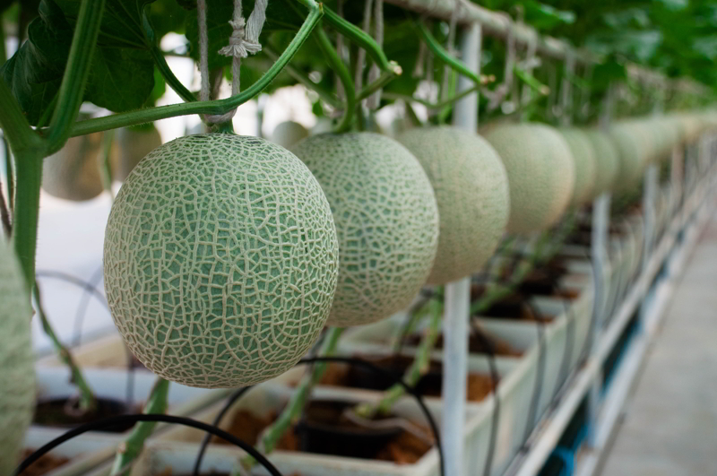Green Melon tree and leaves along with melon fruits are sitting in line