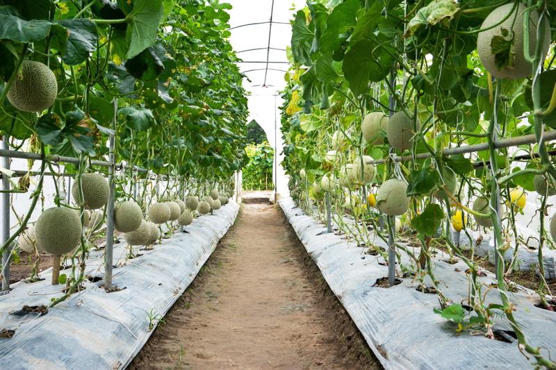 Green melon fruit in farm background.