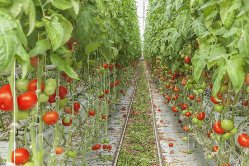 Tomato greenhouses.