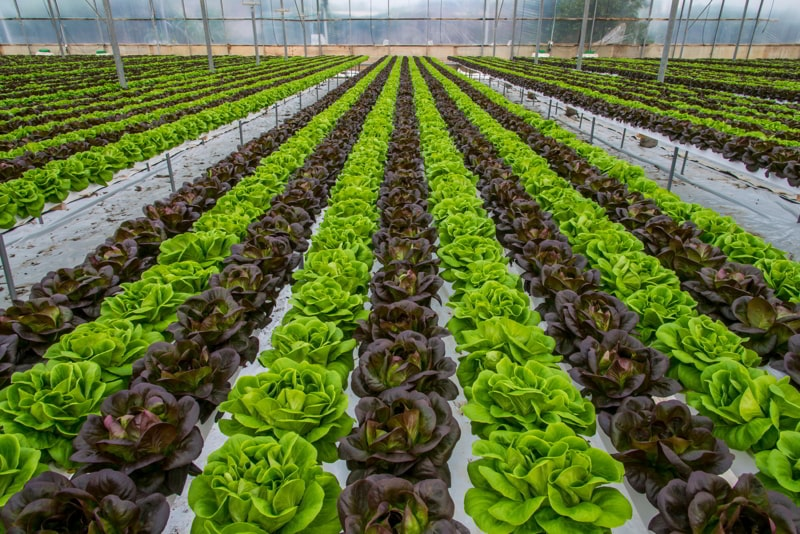 Lettuce hydroponic crops in greenhouse.