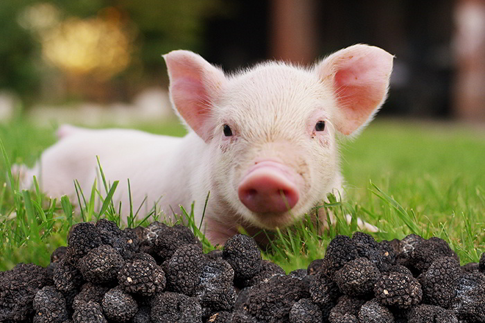 A piglet laying over green gras with black truffles
